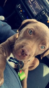 Blue Nose Pit Chocolate Lab Mix Puppy For Sale In Mattawa Wa Adn