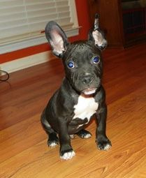 HA! This is what Raven looked like as a pup!!!   Rocco, the American French Bull Terrier (American Pit Bull Terrier/French Bulldog)