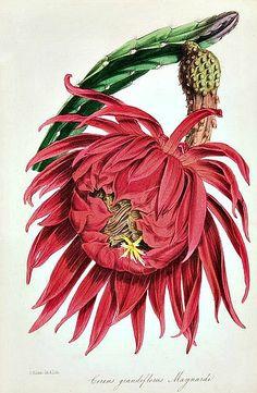 - Paxton& magazine of botany, - Biodiversity Heritage Library Vintage Botanical Prints, Botanical Drawings, Antique Prints, Cactus Drawing, Cactus Art, Cactus Flower, Botanical Flowers, Botanical Art, Flower Prints