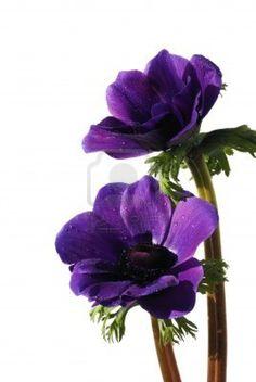 purple anemone flowers Stock Photo