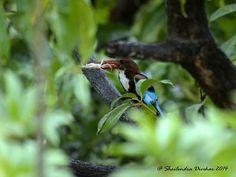 "White throated Kingfisher @ Karjat Maharashtra JULY 2014 For More - AmazingThings92.Tumblr.Com "" If You Like,Reblog & Follow """