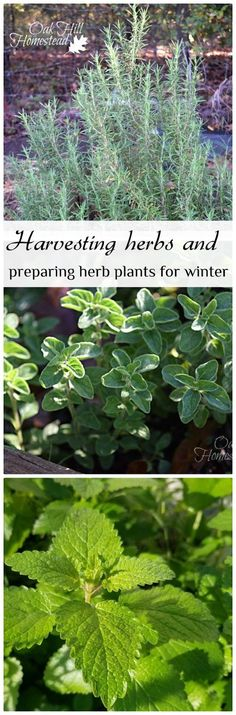 Harvesting herbs and preparing the herb garden for winter. | from Oak Hill Homestead