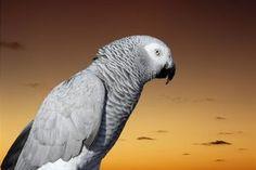 African Grey parrots are social birds that enjoy human contact.