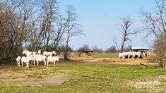 Neusiedler See Card 2018  Weiße Esel   Illmitz Austria, Horses, Animals, Donkeys, Road Trip Destinations, Destinations, Landscape, Vacation, Pictures