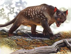 Thylacoleo (pouch lion) is an extinct genus of carnivorous marsupials that lived in Australia from 2 M to 46,000 yrs ago. Some of these 'marsupial lions' were the largest mammalian predators in Australia of that time. The long muscular tail was similar to that of a kangaroo. Specialized tail bones called chevrons allowed the animal to tripod itself, & freed the front legs for slashing & grasping. Wikipedia