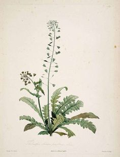 Bolsa de pastor / shephard's purse (Capsella bursa-pastoris). Astringent, vasonconstrictora, hemostatica, diurético, fragilidad capilar, varices, epístaxis, sangrados, metrorragias.