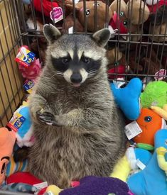 Cute Baby Animals, Animals And Pets, Funny Animals, Animal Pictures, Cute Pictures, Pet Raccoon, Axolotl, Woodland Creatures, My Animal