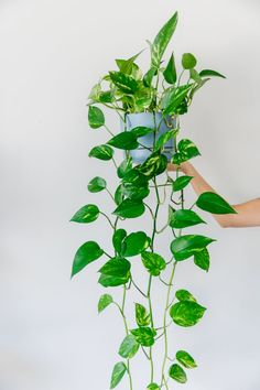 Indoor plant guide 5 beginner plants you cant kill - House Plants - ideas of House Plants - Indoor House plants guide beginner plants you can't kill 4 Ivy Plant Indoor, Best Indoor Hanging Plants, Indoor House Plants, Indoor Gardening, Vine House Plants, Indoor Hanging Baskets, Water Plants Indoor, Tropical House Plants, Common House Plants
