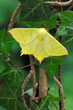 Swallow Tailed Moth by amelia