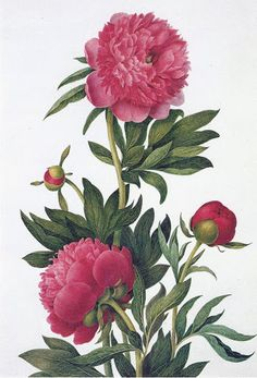 A set of drawings of relatively few peonies already in cultivation in Britain was made in 1822 by Clara Maria Pope (1768-1838). Her Species and Varieties of the Genus Paeonia shows a dozen varieties with both the flowers and the leaves beautifully drawn and accurately coloured.
