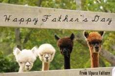 Happy Father's Day from Alpaca Culture. This photo was taken at Krystal Acres Alpaca Farm in San Juan Island, Washington.