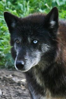 If you live in PA and love wolves, you HAVE to go to the Wolf Sanctuary in Speedwell Forge near Lititz! It's only 30 minutes from Hershey!