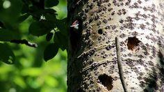Mom, I'm hungry! Woodpecker chic by Seppo Muhonen