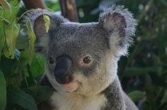 Many koalas are suffering from burns caused by bush fires in Australia. Sign this petition to thank the International Fund for Animal Welfare for working hard to provide treatment and care for these kind creatures. Please sign.  Thanks.