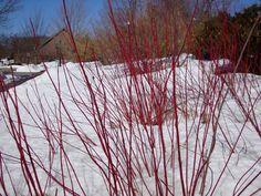 Redtwig dogwood for winter interest