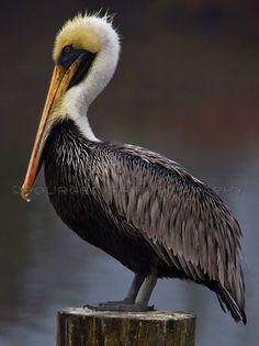 Louisiana state bird, the Pelican