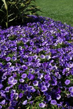 These petunias may be petite, but with this spread they seem to be anything but! Our Shock Wave Denim is a huge hit with its silver fade, just like the fade in your jeans after a long wear. Grow Bulbs, Shock Wave, Hanging Baskets, Petunias, Flower Beds, Outdoor Ideas, Rave, Home And Garden, Gardens