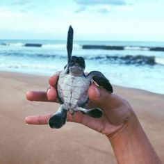 Hands up if your a cutie! Baby turtles are the best Baby Animals Super Cute, Cute Little Animals, Cute Funny Animals, Baby Animals Pictures, Cute Animal Pictures, Animals And Pets, Baby Sea Turtles, Cute Turtles, Save The Sea Turtles
