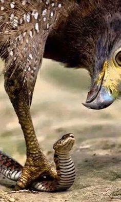 Un águila devorando una serpiente.