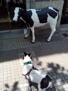 My french bulldog and cow!