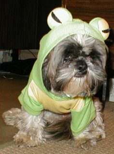 here's my froggy dog Betsy, an 8 year old shih tzu
