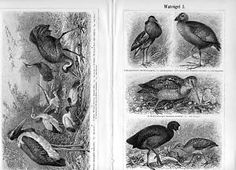 Stich v.1896 Watvögel I.-IV. Kampfläufer Fischreiher | eBay