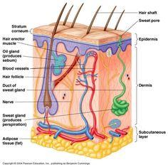 Human Anatomy Diagrams To Label . Human Anatomy Diagrams To Label Label The Skin Anatomy Diagram Tag Human Skin Diagram Label Human Anatomy Organs, Skin Anatomy, Human Anatomy And Physiology, Heart Diagram, Skin Drawing, Anatomy Drawing, Medicine Student, Adipose Tissue, Skin Structure