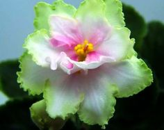 African Violet: Saintpaulia 'Spring Kiss'
