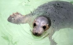 Rescued grey seal pup named Hocken. [Baby Planet]