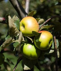 the English Heirloom Bramley Apple. Pear Trees, Fruit Trees, Apple Varieties, Cooked Apples, Apple Orchard, Apple Tree, Garden Design, Vegetables, Cooking
