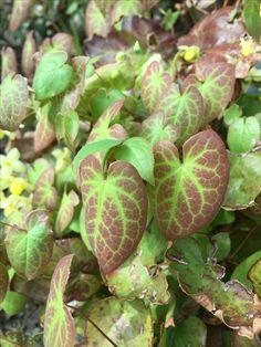 Epimedium peralchicum Shade Plants, Ted, Plant Leaves, Cover, Garden, Garten, Lawn And Garden, Gardens, Gardening