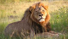 Ed: Did Oxford University researchers sanction hunting of Cecil the lion and his son, Xanda? | Daily Maverick