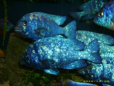 Placidochromis phenochilus tanzania  Lupingu