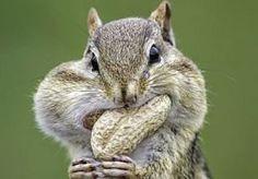 27-Apr-2013 14:45 - SCHOK: PINDAS BEVATTEN PINDA!. Een supermarktketen in Groot-Brittannië moet zijn apennootjes, oer-Hollandse pindas, uit de rekken halen omdat het product nootjes bevat. Dat meldt Mirror. Hoewel de nootjes uiteraard sporen van noten bevatten, staat dat niet op de verpakking. En dat kan volgens de Britse Voedsel- en Warenautoriteit niet door de beugel. De nootjes kunnen een groot gezondheidsrisico opleveren voor mensen met een pinda-allergie.