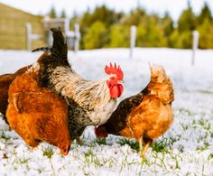6 Ways to Get Your Chicken Coop Ready For Winter