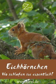 Wir sehen Eichhörnchen oft tagsüber auf Bäume klettern, elegant von Ast zu Ast springen oder – weniger gut – über die Straße laufen. Doch wo schlafen Eichhörnchen eigentlich? Und wohin ziehen sie sich zurück, wenn es regnet oder stürmt? Die Antwort finden Sie hier. Eichhörnchen I Eichhörnchen Futterhaus I Tiere im Garten Squirrel, Elegant, Fox, Animals, Road Running, Predator, Climbing, Animales, Classy