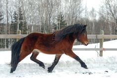 Photo: Kordula Reinhartz  Icelandic horse conformation focuses on riding horse qualities, such as having a sloping shoulder, elegant neck, and strong back and croup which will allow the horse to carry himself correctly with the weight on the hindquarters. Three-year-old Skvetta fra Clear Lake Farm, shows a lovely floating trot.