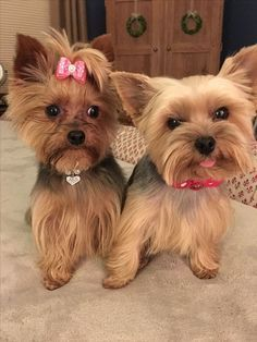 Super sweet and stylin' Yorkies