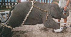 """El estado en el que tienen a los animales que realizan espectáculos para circos es realmente lamentable. Lo alimentan poco, los golpean, no reciben la higiene correspondiente, viven encerrados en jaulas pequeñas, lo que hacen que se sientan muy estresados, no los curan y los hacen viajar de un lado a otro. Por supuesto, también tienen que hacer el show que les piden que hagan y los golpean para """"amaestrarlos""""."""
