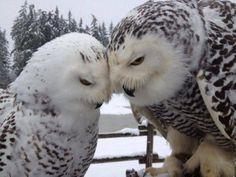 Resultado de imagem para snowy owl male and female