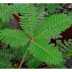 Mimosa sensitiva (maceta 13 cm ø)