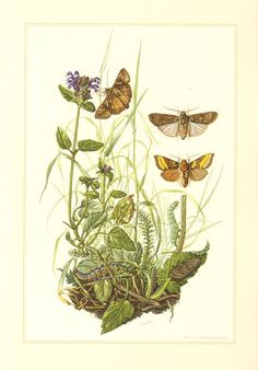 1956 Owlet Moths, Turnip Moth - Agrotis segetum, Silver Y - Autographa gamma, Burnished Brass - Diachrysia chrysitis Vintage Lithograph