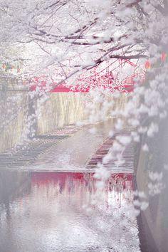Des cerisiers en fleurs bordent la rivière Meguro