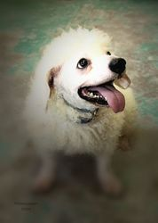 Jojo is an adoptable Poodle Dog in Liverpool, NY.  ...
