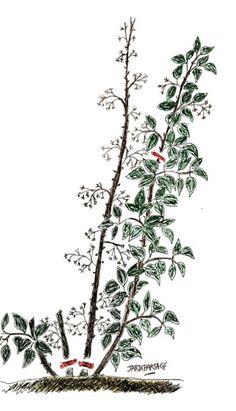 un rameau de pommier bio avec boutons bourgeons bois et fleurs la greffe m thode. Black Bedroom Furniture Sets. Home Design Ideas