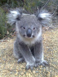 The cutest koala ever!IEC More The cutest koala ever! Nature Animals, Animals And Pets, Wild Animals, Happy Animals, Cute Baby Animals, Funny Animals, Australian Animals, Tier Fotos, Cute Creatures