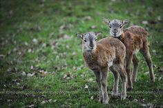Jeunes Mouflons