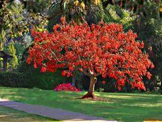 erythrina crista-galli, natural