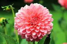 Beautiful and Pretty Dahlia Flowers Pictures