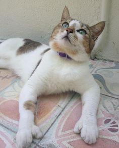 Polydactyl Hemingway cats!